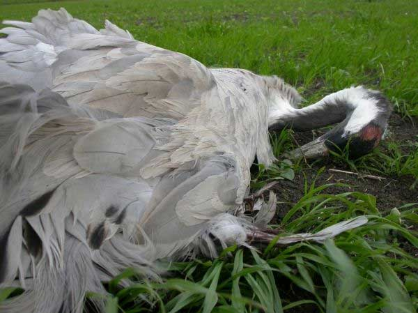 Picture above : crane killed by windfarm power line en Tahivilla - courtesy of COCN